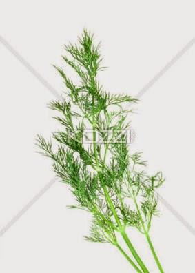 Branch Of Green Dill